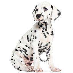 kids038_001_s-wall-sticker-autocollant-dalmatier-dalmatien-dalmatian-puppy-chiot